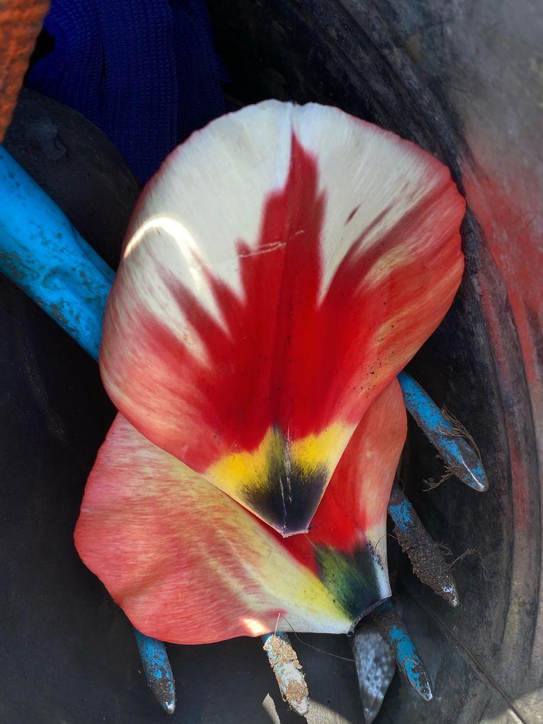 Tulipa 'Spryng Break'. Beeld Elspeth Diederix