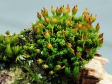 Lonnekerberg herbergt dertien bedreigde soorten mos