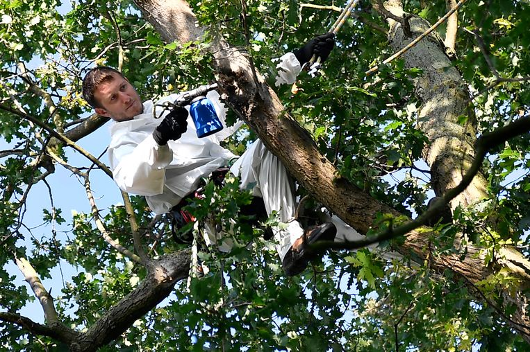 Hoog in de eikenbomen op de terreinen van Jeugd Zonder Dak bestrijdt personeel van een gespecialiseerde firma de rupsen.
