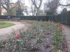 Driehonderd nieuwe rozen voor Prins Bernhardplantsoen in Hengelo