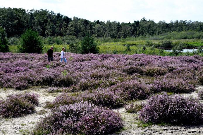 Rondom het Belversven kleurt de Kampina paars, dankzij de struikheide.