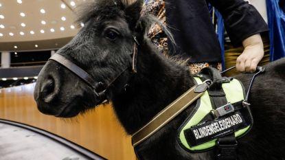 """Dinky, het eerste blindengeleidepaardje van Europa, is zijn job kwijt: """"Hij heeft ternauwernood een vergiftiging door esdoornscheuten overleefd"""""""