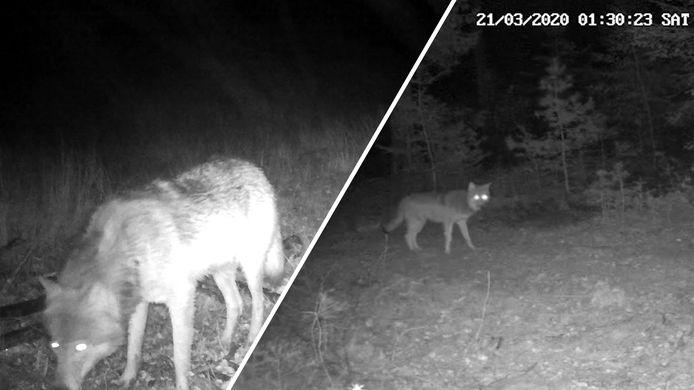 Videostill wolf Veluwe