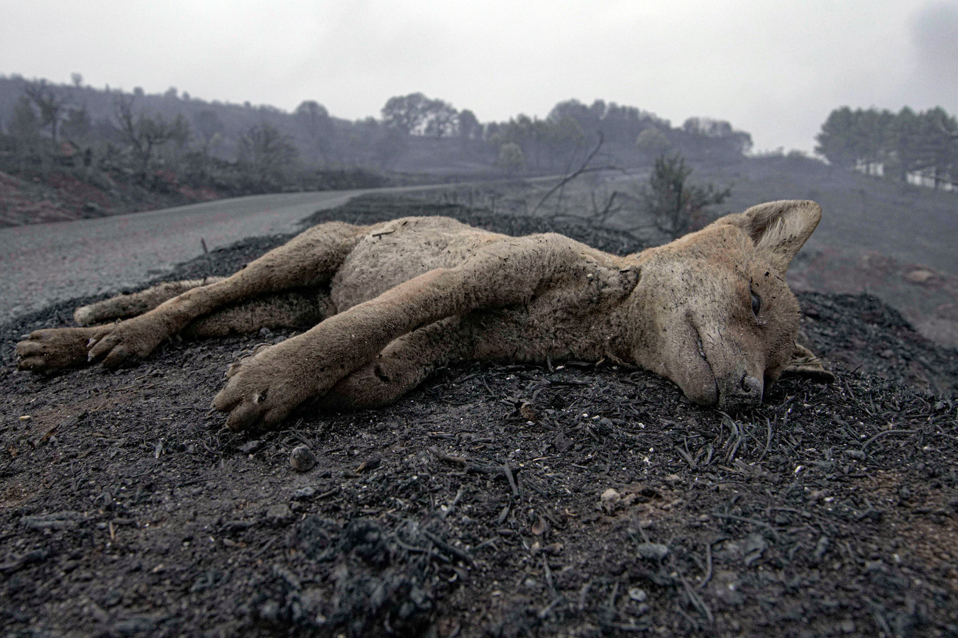 Een in de vlammen omgekomen vos bij Cugliari.