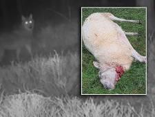 Vijf schapen van hobbyboer Matthew (21) gedood in Epe, waarschijnlijk door wolf: 'De ingewanden lagen door het hele weiland'