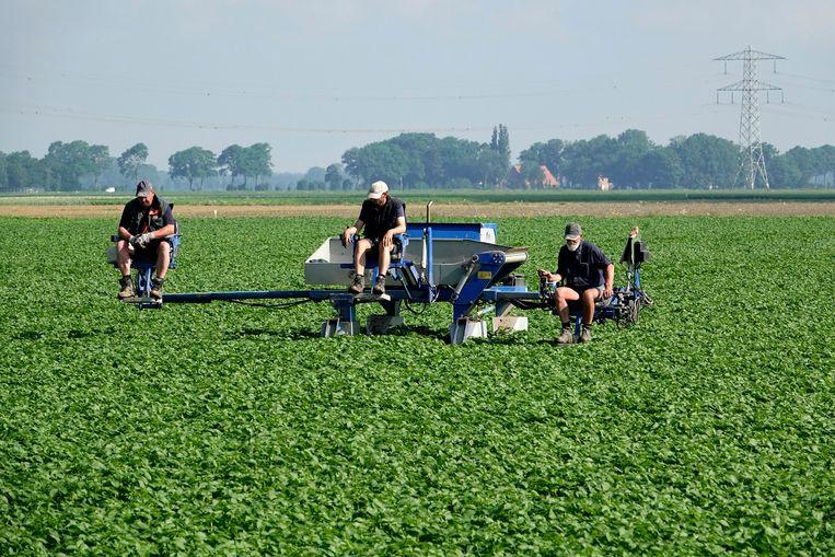Drie landarbeiders  nabij Marknesse en Emmeloord. Beeld Hollandse Hoogte / Fred Hoogervorst