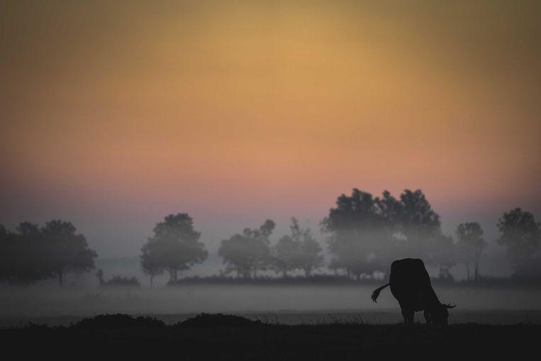 Koeien in de ochtendmist. Beeld ANP