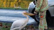 Brandweer vindt verdwaalde pelikaan aan Kempisch Kanaal