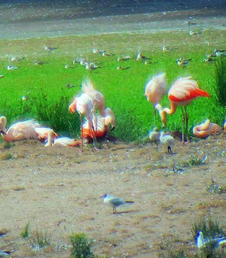 Flamingo's weten Zwillbrock weer te vinden: eerst waren het er 19, nu al 35
