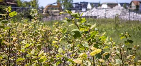 In Twente groeit hoop in de harde strijd tegen de Japanse duizendknoop