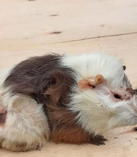 245 verwaarloosde en zwaar verminkte cavia's in beslag genomen