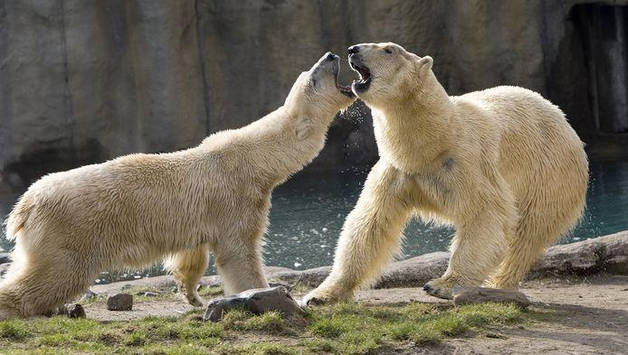 IJsberen Eric en Olinka.