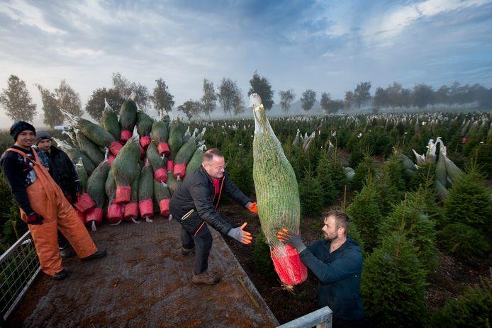 Gerrit Brinkman (midden) en zijn mannen zijn nu nog volop bezig de buitenlandse markt te bedienen. Daarna kunnen ze vol aan de bak om Nederlandse tuincentra van kerstbomen te voorzien.