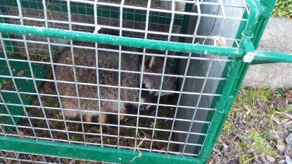 Opnieuw wasbeer gevangen in Waarloossteenweg