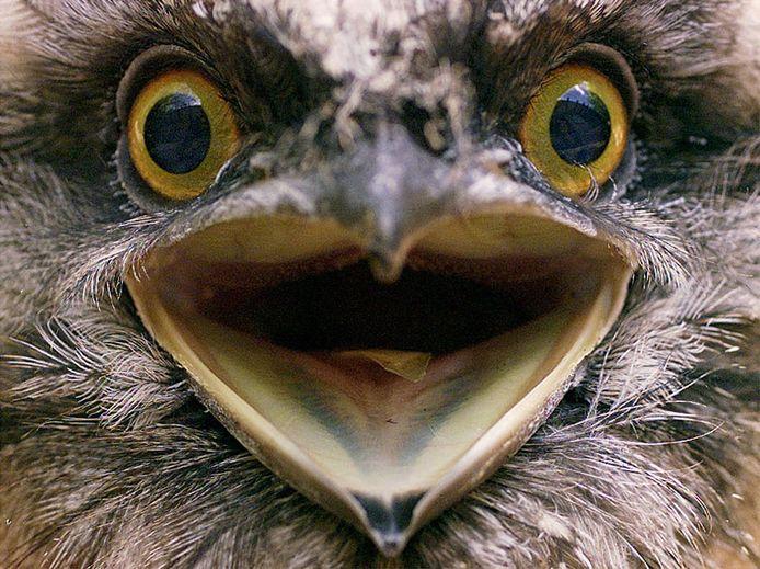 De kikkerbek of uilnachtzwaluw.