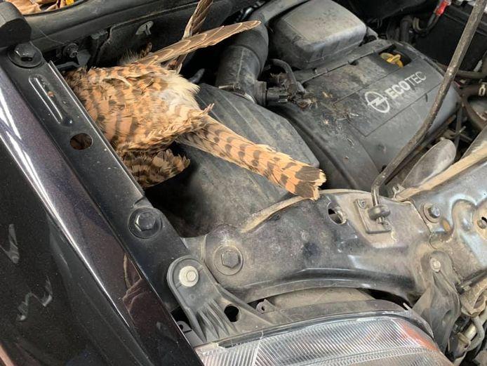 Een valk onder de motorkap is heel uitzonderlijk