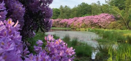 Petitie voor behoud honderd jaar oude rododendrons in Nunspeet, Staatsbosbeheer verdedigt besluit