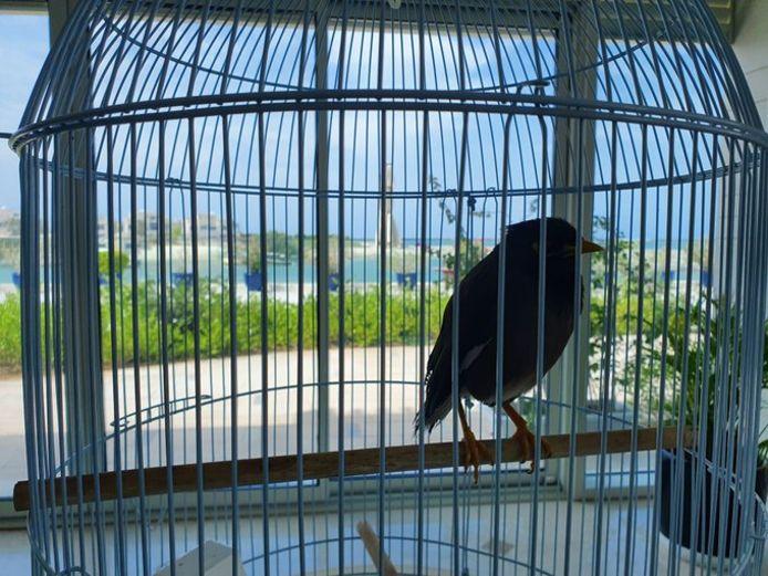 De vogel van de ambassadeur.
