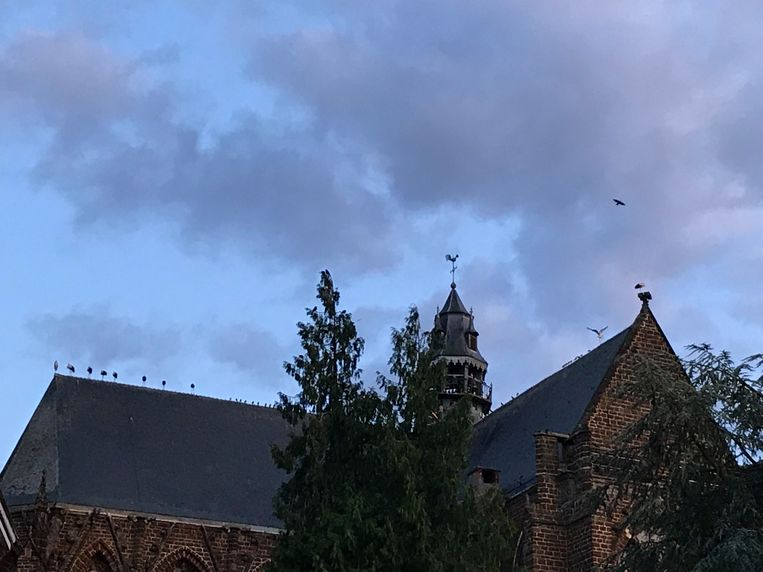 De ooievaars streken neer op de Sint-Sulpitiuskerk van Diest.