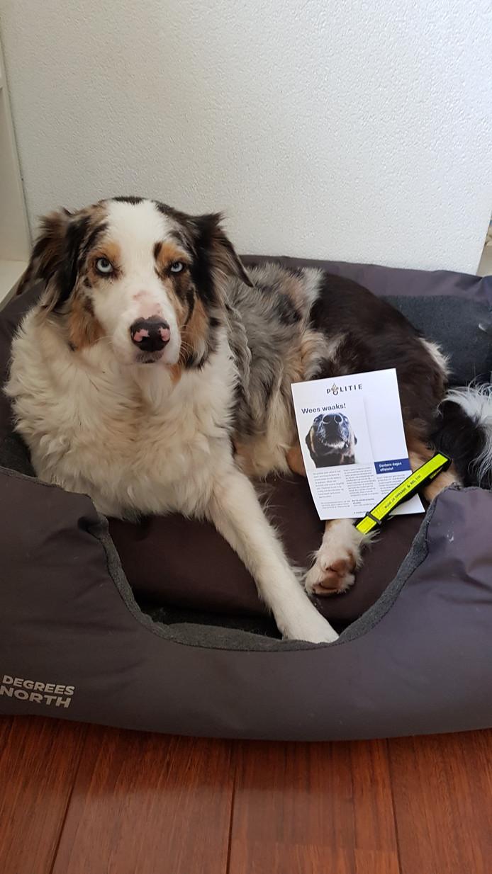 Halo, een Australian Shepherd, heeft ook een halsbandje gekregen.