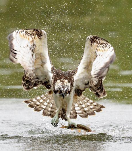 Nog héél even genieten van webcamnest in de Biesbosch: jonge visarenden vliegen bijna uit