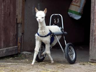 IN BEELD: Driebenige alpaca krijgt aangepaste rolstoel