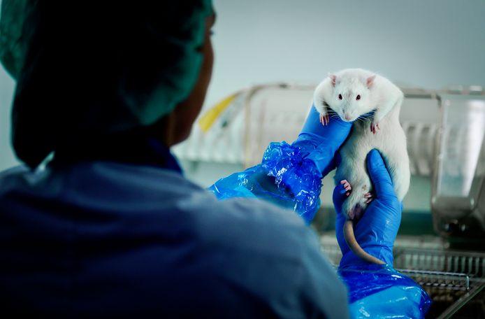 Foto ter illustratie: een medewerker van het Centraal Dierenlaboratorium van het Radboudumc verzorgt ratten voor onderzoek naar een nieuw malariavaccin. ARCHIEFFOTO ANP ROBIN VAN LONKHUIJSEN