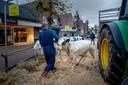 Dit jaar geen koeien in de Hogestraat van Druten.