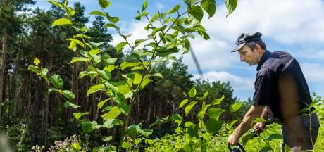 Deze plant wil je niet in je tuin! Zo pakken ze in Zeist de duizendknoop succesvol aan