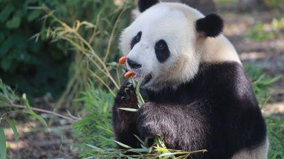 """Reuzenpanda Tian Bao verlaat Pairi Daiza: """"Met spijt in het hart"""""""