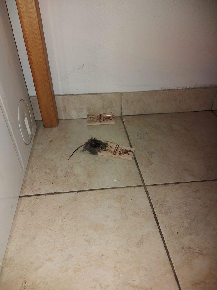 Ledeberg opgeschrikt door muizenplaag