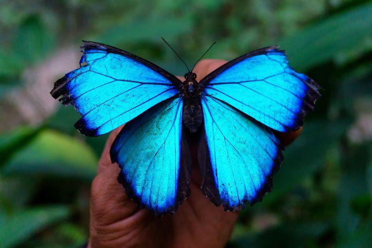 De Blauwe morpho-vlinder.  Beeld Imageselect