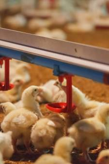 'Antibioticavrije kip heeft soms wel medicijnen gehad'
