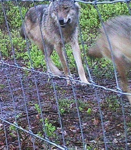 De wolf rukt op: honden worden getraind om vee te beschermen