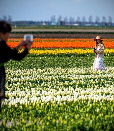 Zorgen bij boeren om groeiend tulpentoerisme Goeree-Overflakkee: 'Het is toch geen attractie?'