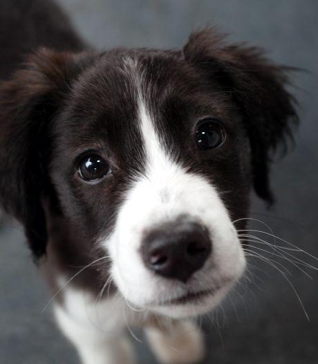 Geschrokken Boxmeerse ontsnapt op nippertje aan brutale hondendieven: 'Ik dacht maar één ding, wegwezen hier!'