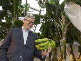 Eerste Nederlandse bananen geoogst