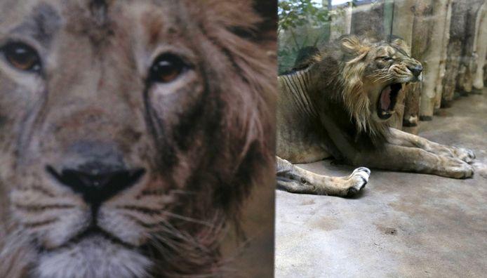 De leeuw Jamvan is besmet met Covid-19.