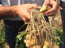 Kleine Hansa-aardappeltjes zoals CelaVita ze graag ziet. Maar wel al met nieuw utschot als gevolg van de' tweede bloei'.