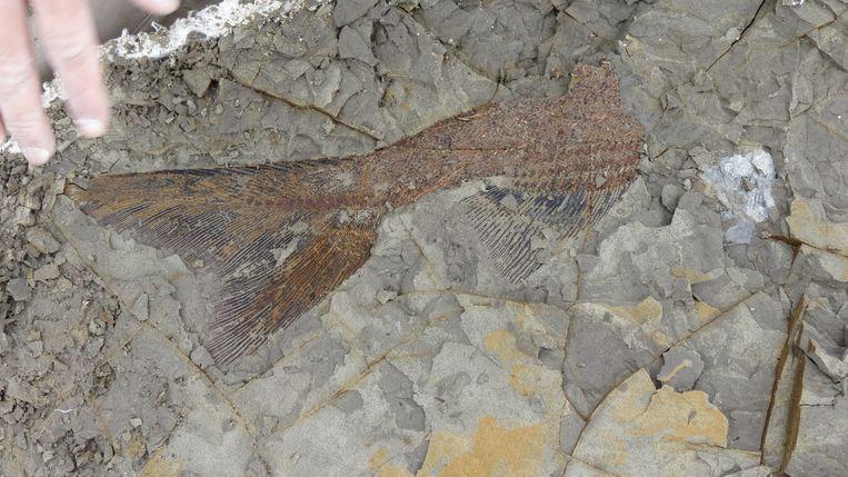Een staart van een vis die 65,95miljoen jaar geleden werd gedood toen bij Mexico de meteoriet insloeg.  Beeld Robert DePalma