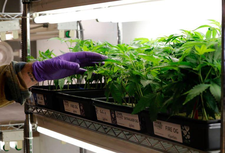 Een verkoper bij een selectie van cannabisplantjes in Oakland, Californië.  Beeld EPA