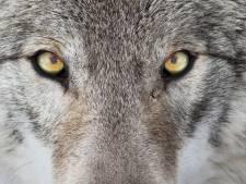 Tom spotte een wolf in Beek-Ubbergen: 'Geen twijfel mogelijk'
