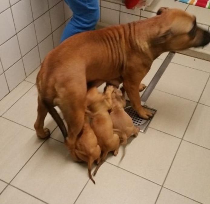De verwaarloosde pups en moederhond zaten in een schuur in Roosendaal.