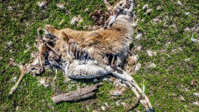 Bijvoederen of niet? Officiële foto's tonen kadavers verhongerde dieren in Nederlands natuurreservaat