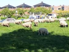 Schapen ontsnappen in Nijkerk, op zoek naar beter gras