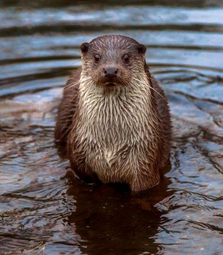 Is de otter dé oplossing tegen de allesverslindende rivierkreeft? 'Ze zijn er dol op'