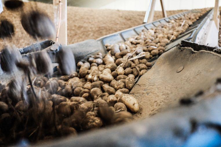 De aardappelboeren vrezen een tweede rotjaar op rij Beeld Bob Van Mol