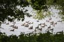 De overlast van ganzen was afgelopen zomer groot in Zutphen. Zo ook bij de vijver bij sportcomplex Zuidveen. En dat al voor het derde jaar op rij