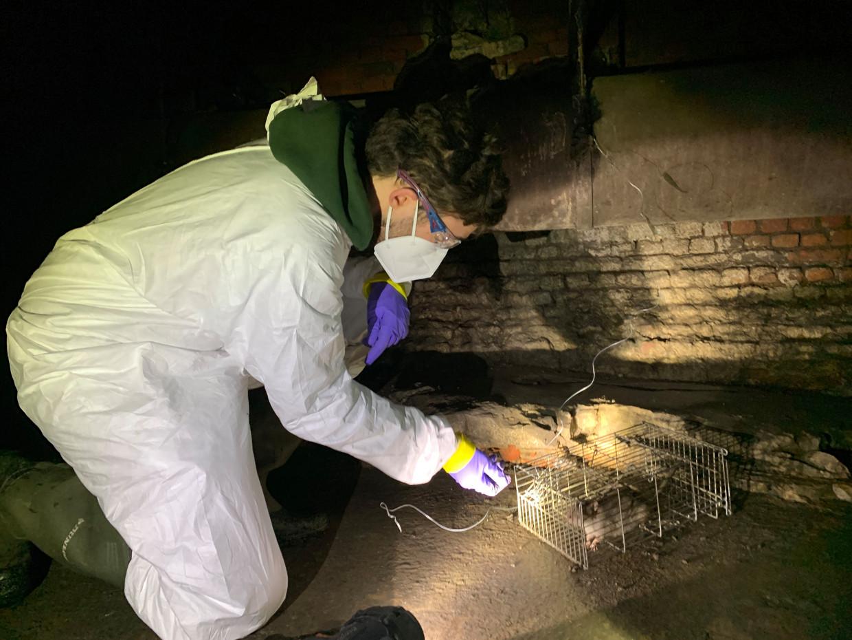 Wannes Leirs, bioloog aan de UAntwerpen, vangt bruine ratten in de Antwerpse Ruien om ze nadien in het labo te laten testen op SARS-CoV-2. Beeld RV