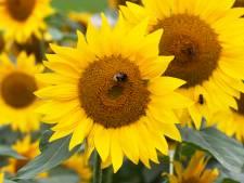 Boer Theo helpt natuur een handje met zonnebloemen